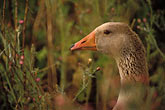seated stock photography | California, Benicia, White-fronted Goose (Anser albifrons), image id 4-211-23