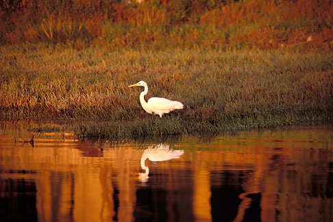 image 4-241-32 California, San Francisco Bay, Common egret Casmerodius albus
