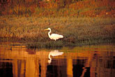 marshland stock photography | California, San Francisco Bay, Common egret (Casmerodius albus), image id 4-241-32