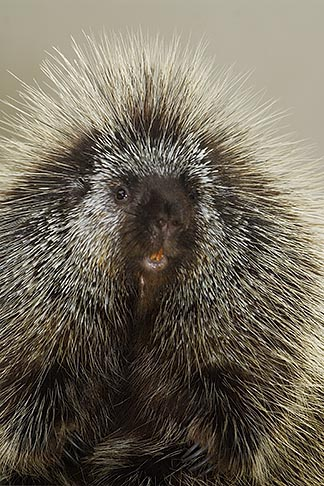 image 5-805-717 Animals, North American Porcupine, Erethizon dorsatum