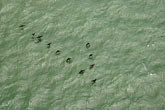 ornithology stock photography | California, San Francisco Bay, Birds below on water, image id S4-310-098