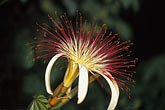 lush foliage stock photography | Belize, Monkey River, Shaving brush flower, image id 6-109-5