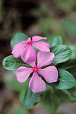 lush foliage stock photography | Belize, Placencia, Madagascar periwinkle flower, image id 6-54-7