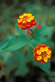 red flower stock photography | Belize, Placencia, Lantana flower, image id 6-59-17