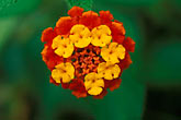 red flower stock photography | Belize, Placencia, Lantana flower, image id 6-59-20