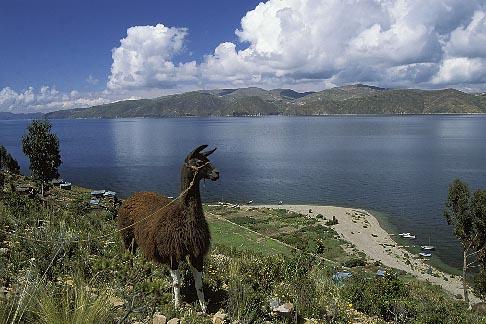 image 3-106-14 Bolivia, Lake Titicaca, Llama, Isla de la Luna