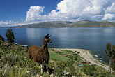 farm animal stock photography | Bolivia, Lake Titicaca, Llama, Isla de la Luna, image id 3-106-14