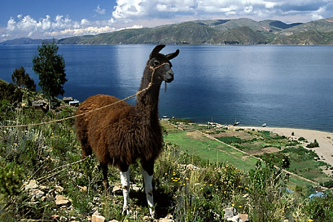 image 3-106-16 Bolivia, Lake Titicaca, Llama, Isla de la Luna