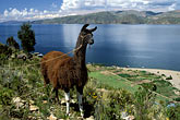 farm animal stock photography | Bolivia, Lake Titicaca, Llama, Isla de la Luna, image id 3-106-16