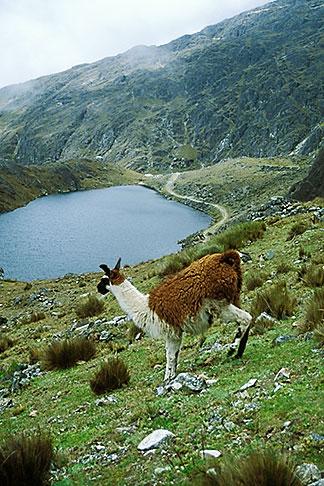 image 3-117-3 Bolivia, Andes, Llama and Laguna Loro Kheri, Taquesi Trek