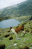 tramp stock photography | Bolivia, Andes, Llama and Laguna Loro Kheri, Taquesi Trek, image id 3-117-3