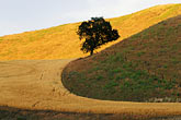 solitary tree stock photography | California, San Luis Obispo County, Cammatti Valley, Oak and hillside, image id 0-520-7
