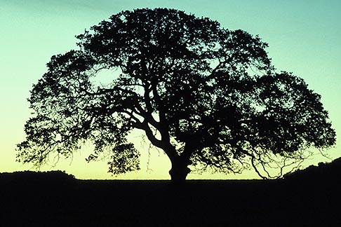 image 0-8-22 California, Oak Tree at dawn