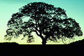 sunset stock photography | California, Oak Tree at dawn , image id 0-8-22