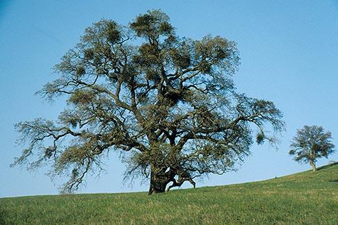 image 1-20-3 California, East Bay Parks, Oak tree with mistletoe, Morgan Territory Park