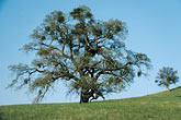 horizontal stock photography | California, East Bay Parks, Oak tree with mistletoe, Morgan Territory Park, image id 1-20-3
