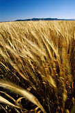 grasses stock photography | California, San Luis Obispo County, California Valley, field, image id 1-381-5