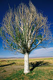 crop stock photography | California, San Luis Obispo County, California Valley, Solitary tree, image id 1-381-8