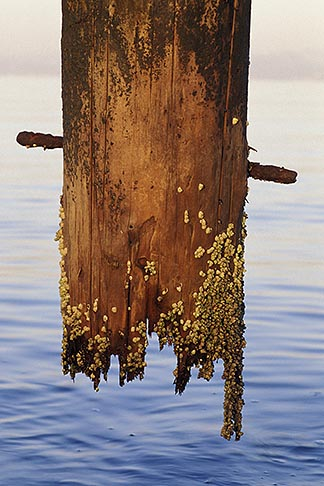 image 2-156-23 Waterfront, Piling with barnacles