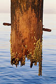 wooden stock photography | Waterfront, Piling with barnacles, image id 2-156-23