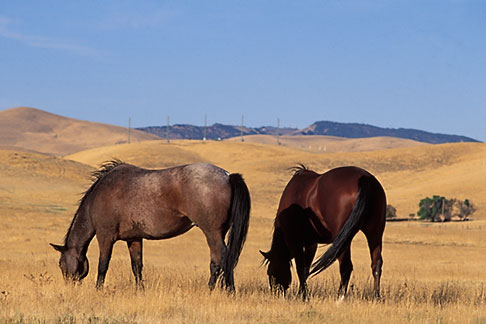 image 2-179-33 California, Contra Costa, Horses grazing near Byron