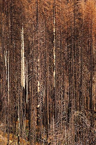 image 2-186-33 California, Sierras, Burned trees, Old Priests Grade, Hwy 120