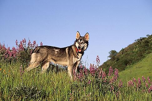 image 2-39-15 Dogs, Wolf hybrid and husky mix