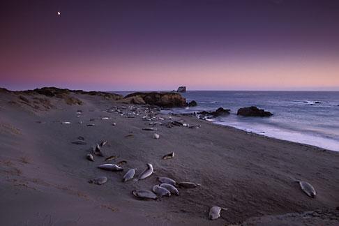 image 2-651-19 California, San Luis Obispo County, San Simeon, elephant seals with moonrise