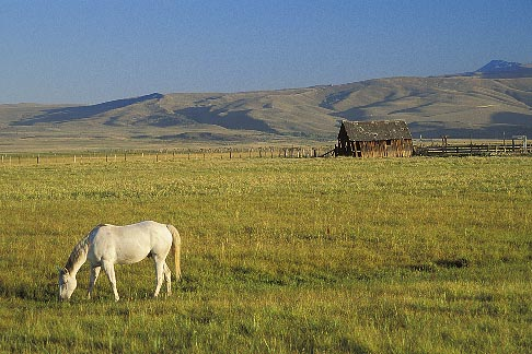 image 3-295-8 California, White horse grazing in pasture