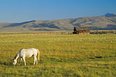farm animal stock photography | California, White horse grazing in pasture, image id 3-295-8