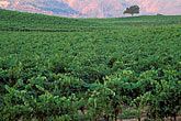 grape vines stock photography | California, Napa County, Vineyards at dawn, Silverado Trail, image id 3-302-31