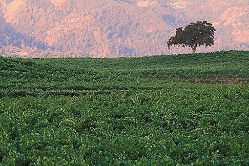 image 3-302-33 California, Napa County, Vineyards at dawn, Silverado Trail