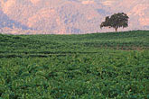 grape stock photography | California, Napa County, Vineyards at dawn, Silverado Trail, image id 3-302-33