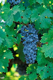 grape vines stock photography | California, Napa County, Cabernet grapes, image id 3-305-25