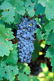 edible stock photography | California, Napa County, Cabernet grapes on vine, image id 3-305-27
