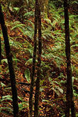 leafage stock photography | California, Big Sur, Trees & ferns, Pfeiffer Big Sur State Park, image id 3-313-32