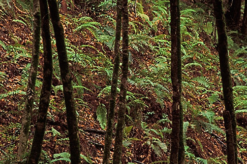 image 3-313-36 California, Big Sur, Trees and ferns, Pfeiffer Big Sur State Park