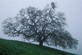 oak and morning fog stock photography | California, Mt Diablo, Oak and morning fog, image id 3-60-37