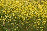 yellow stock photography | California, Benicia, Mustard flowers, image id 4-217-26