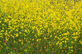 yellow stock photography | California, Benicia, Mustard flowers, image id 4-217-27