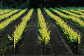 yellow stock photography | California, Napa County, Vineyards, image id 4-239-23