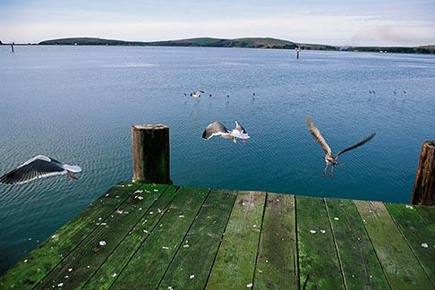 image 4-561-64 California, Bodega Bay, Pier, Lucas Wharf