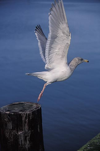image 4-562-32 California, Bodega Bay, Gull