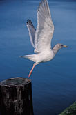 vertical stock photography | California, Bodega Bay, Gull, image id 4-562-32