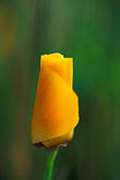 verdant stock photography | California, Marin County, California Poppy (Eschscholzia Californica), image id 4-702-65