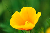 verdant stock photography | California, Marin County, California Poppy (Eschscholzia Californica), image id 4-702-68