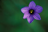 purple flower stock photography | California, Marin County, Purple flower, image id 4-702-85