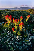 shoreline wildflowers stock photography | California, Point Arena, Indian paintbrush, image id 4-795-91