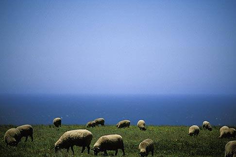 image 4-796-47 California, Point Arena, Sheep grazing on coastal bluff