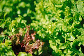 salad greens stock photography | Food, Lettuce in vegetable garden, image id 4-798-23